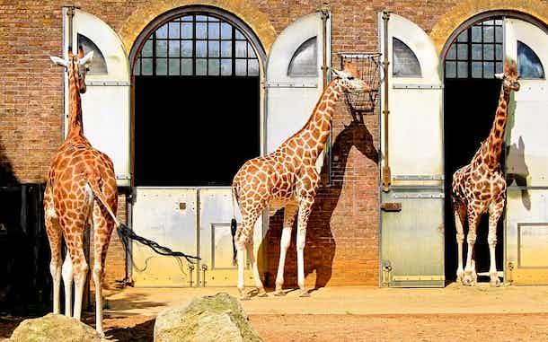 zoo de londres visitar jirafas